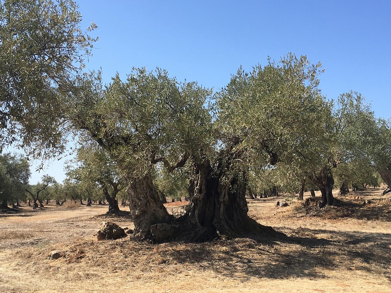 Olivenanbau in Portugal, der auch hier seit undenklichen Zeiten die Landschaft prägt. Quelle: Jörn Gutowski, TRY FOODS